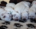 puppies of Ashbury Angel Heart & Nenuoramos Wings of Dreams