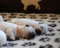 puppies of Ashbury Angel Heart & Rusnė