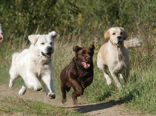"""Judrūs veislyno """"Nenuoramos"""" šunys"""