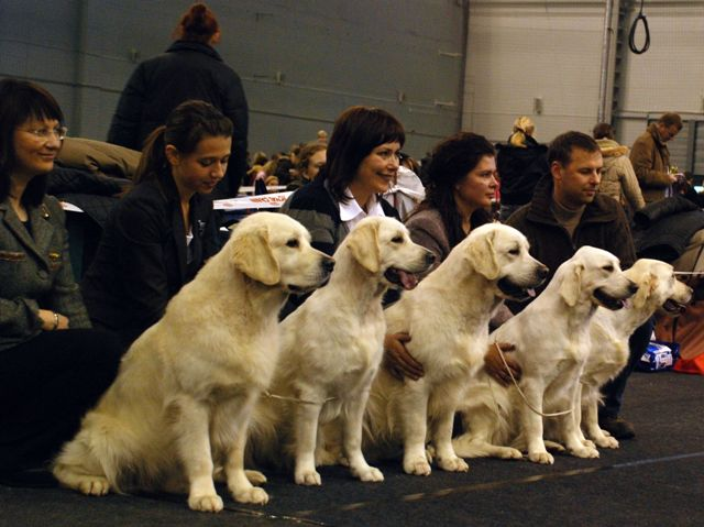 "Golden retrievers - veislynas ""Nenuoramos"""